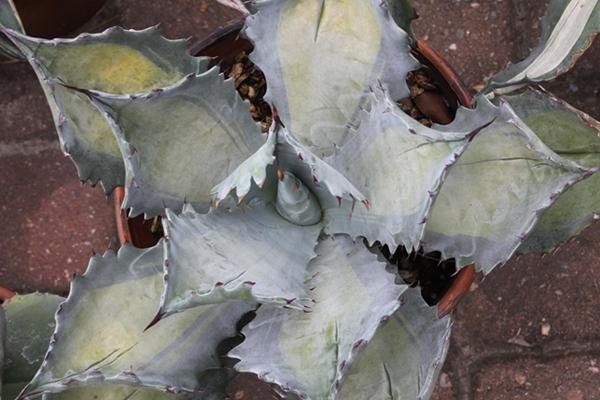 Agave colorata Misashibo4 (2)