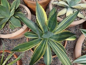 Agave cupreata 'Cupido'