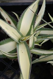 Agave guiengola 'Cream Custard'