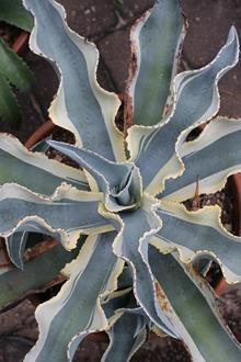 Agave gypsophila ssp. pablocarrilloi 'Ivory Curls'