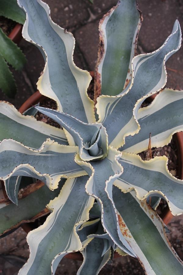 Agave gypsophila Ivory Curls2
