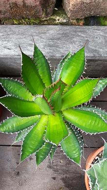 Agave horrida 'Morning Sun'