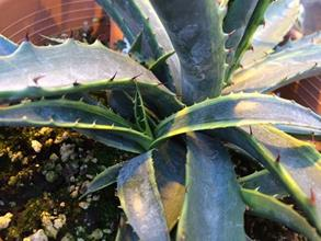 Agave mckelveyana yellow edge