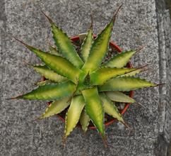 Agave montana 'Toxic Waste'