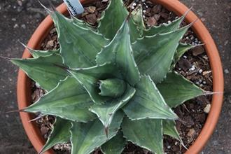 Agave montana 'Lime Flash'