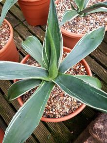 Agave oroensis 'Monk'