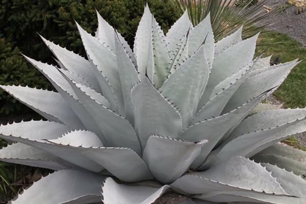 Agave ovatifolia Fifty Shades of Grey PDN006 Copy