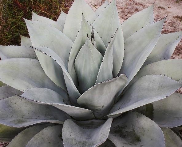 Agave ovatifolia Sierra Lampazos4 (63766).cc Copy