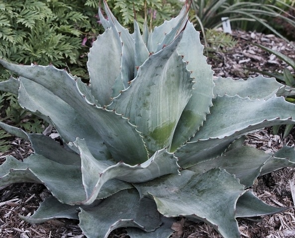 Agave ovatifolia Vanzie2 (63768).cc Copy