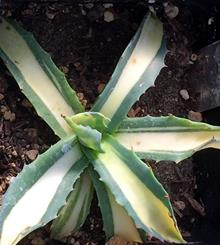 Agave parrasana 'Hidden Wonder'