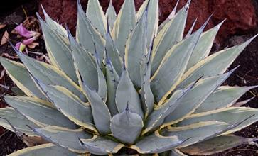 Agave parryi ssp. neomexicana 'Sunspot'