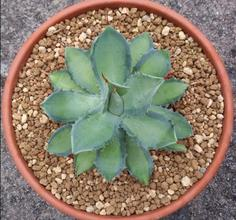 Agave isthmensis 'Becky'
