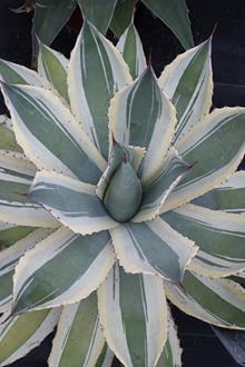Agave potatorum 'Snowfall'
