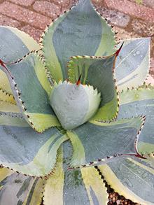 Agave pygmae 'Summer Love'