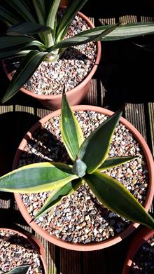Agave sisaliana 'Shuttle'