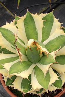 Agave titanota 'Snaggle Tooth'