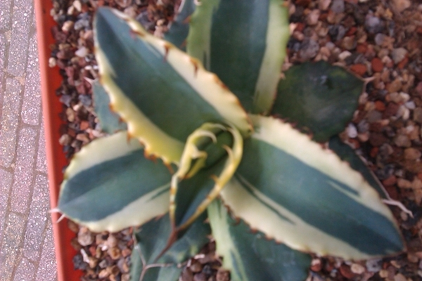 Agave titanota creamy margin (S. van Dort)