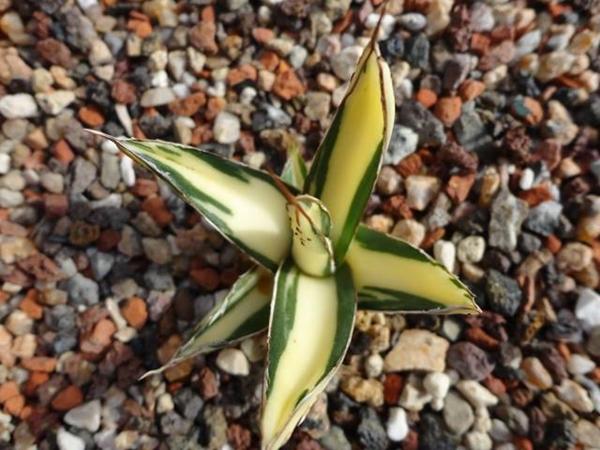 Agave victoriae reginae Mediopicta cream Coll.Stef 172