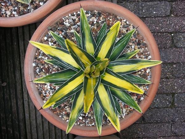 Agave victoriae reginae bright yellow center (S. van Dort)