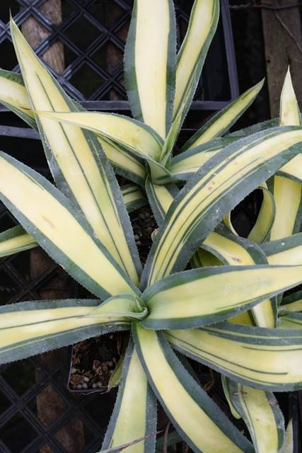 Agave weberi yellow center - a Plant Delights discovery (Avent)