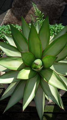 Agave x romanii 'Shadow Dancer'