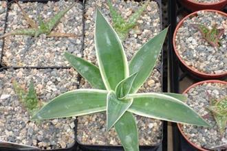Agave 'Blue Flame' Marginata