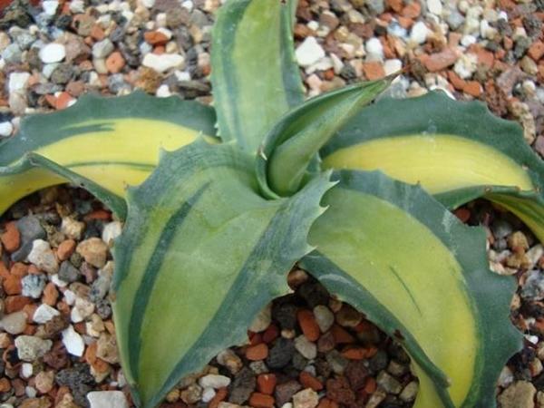 Agave Gigantensis 'Mediopicta Aurea' (Stef van Dort)