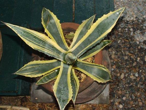 Agave americana 'Marginata Aurea' blue form (Rick Nowakowski)