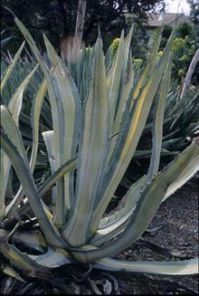 Agave americana Mediopicta yellow