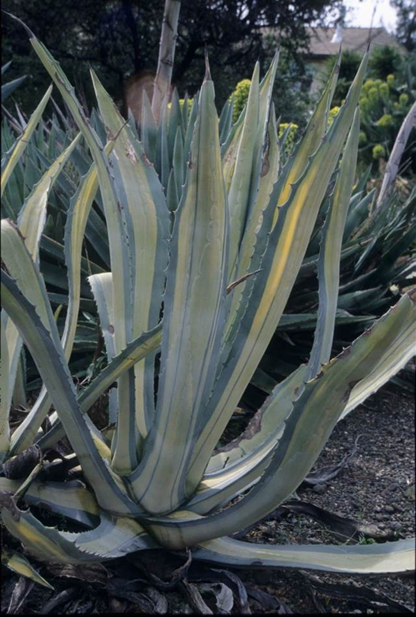 Agave americana 'Mediopicta yellow' @ McPhetters Gdn, CA (Avent)