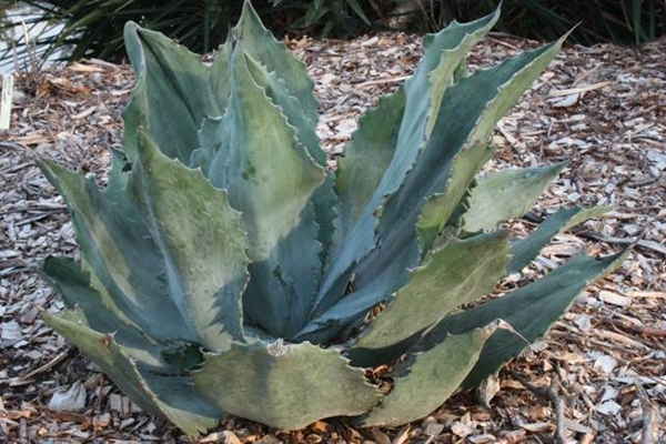Agave americana v. expansa 'Carson B' - muted edge sport from Charlie Carson (Avent)