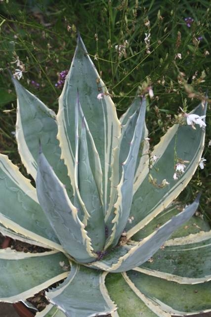 Agave americana 'Marshmallow Cream' - wide edge form named by Plant Delights (Avent)