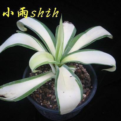 Agave attenuata wide white center (Miao Chuan Shih, Thailand)
