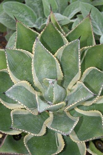 Agave celsii 'Multicolor' (Avent)