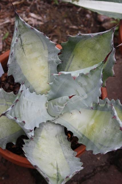 Agave colorata yellow center (Avent)