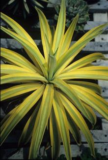 Agave desmettiana lt green wide yellow edge