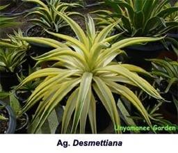 Agave desmettiana yellow edge