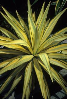 Agave desmettiana yellow green tricolor lvs