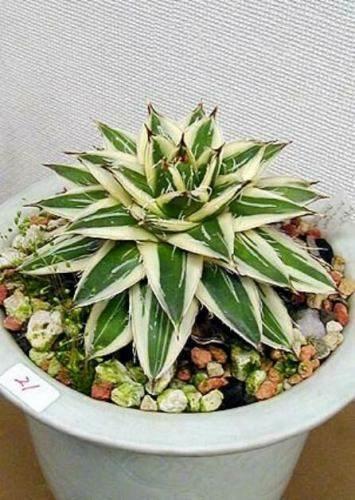 Agave filifera 'Variegata' (van Theil)