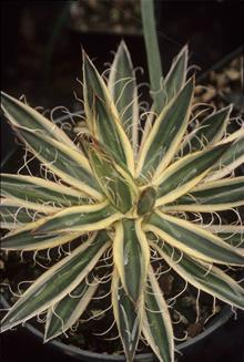 Agave filifera cream edge