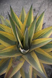 Agave gentryi yellow edge