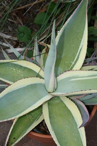 Agave guiengola 'Cream Brulee' - A Kelly Griffin introduction (Avent)