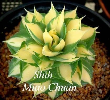 Agave isthmensis 'Hoi Raiz' (Miao Chuan Shih)