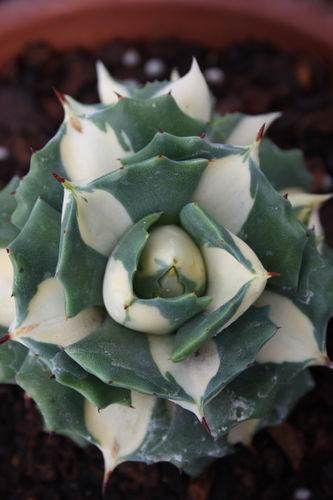Agave isthmensis 'Ohi Raijin Shiro Nakafu' sport PDN003 - discovered at Plant Delights (Avent)