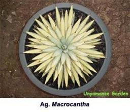 Agave macrocantha gold