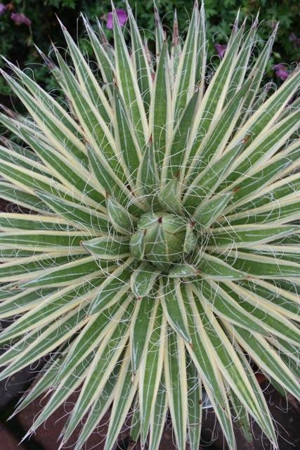 Agave multifilifera 'Marginata' - not the same as Agave schidigera 'Shiro ito no Ohi' (Avent)