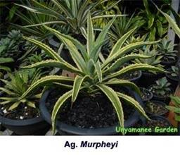 Agave murpheyi yellow edge Jiew