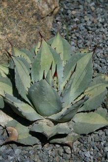 Agave parryi ssp. huachucensis 'Excelsior'