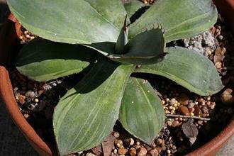 Agave parryi ssp. truncata edge