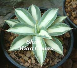 Agave potatorum var verschafeltii white center